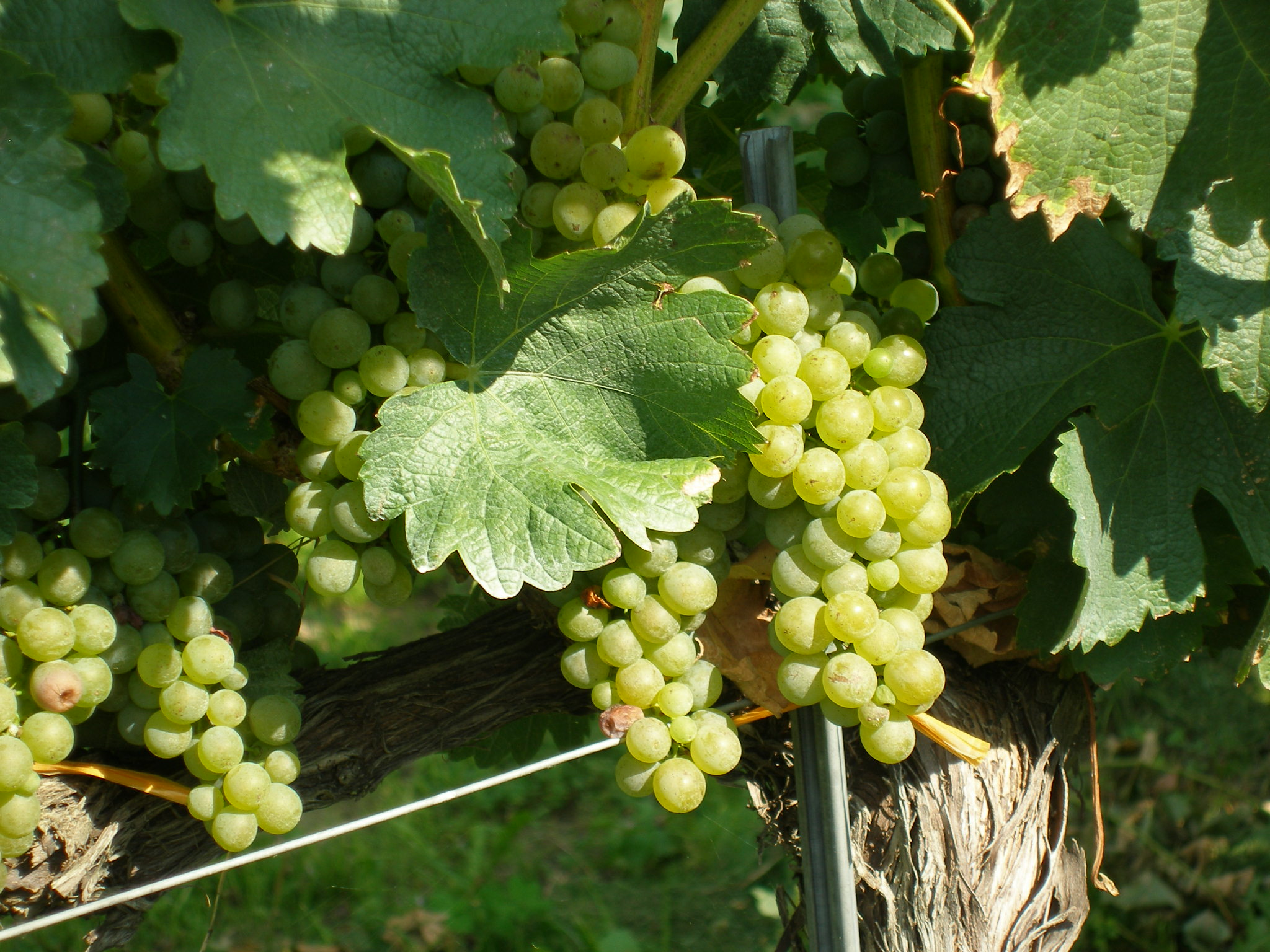 Weintrauben während der Reife im Sommer an der Rebe