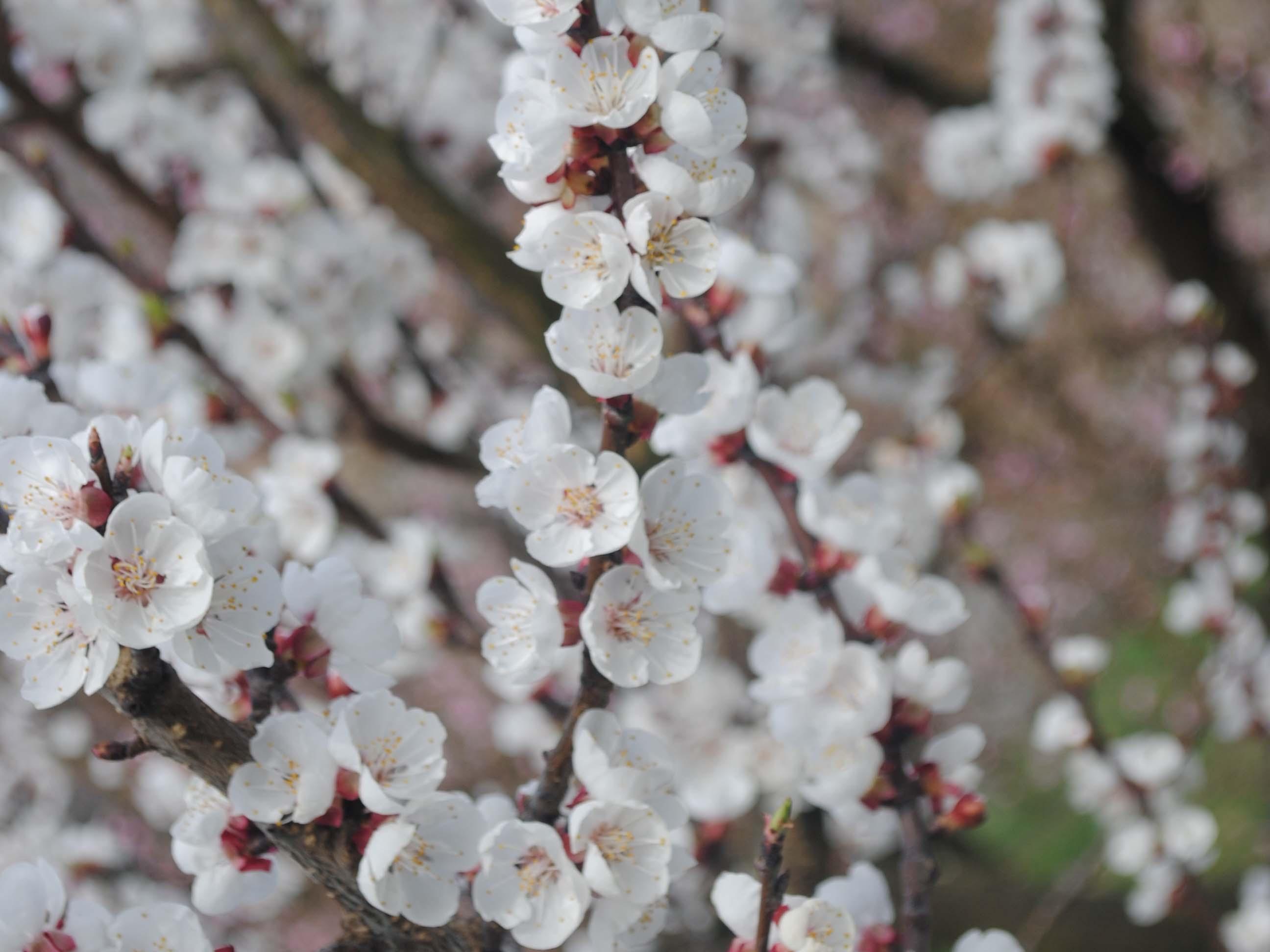 Marillenblüte Nahaufnahme