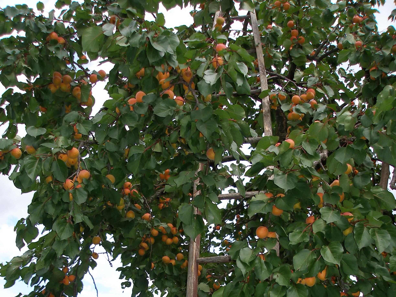 Marillenbaum mit Holzleiter während der Ernte